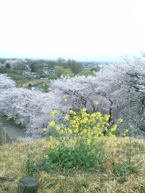 【お花見】のぼうの城でも有名な「さきたま古墳公園」に行ってきました。
